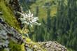 canvas print picture - Edelweiss geschützte Blume der Alpen