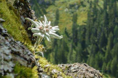 Edelweiss geschützte Blume der Alpen