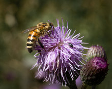 Close Up Of Bee And Bug On Purple Thistle