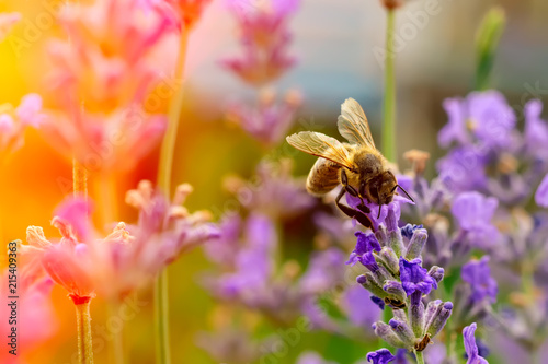 Foto op Aluminium Bee The bee pollinates the lavender flowers. Plant decay with insects.