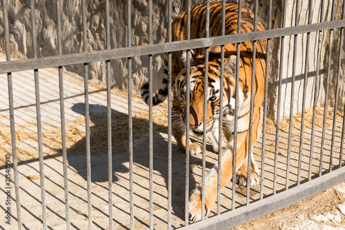 Tiger in captivity in a zoo behind bars. Power and aggression in the cage.