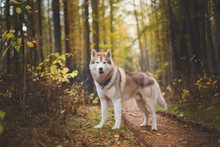 Portrait Of Beautiful Siberian Husky Dog Standing In The Bright Enchanting Fall Forest