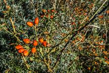 Lots Of Orange Rose Hips On A ...