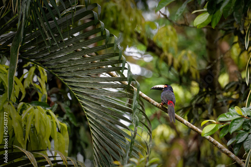 "Foto op Plexiglas Toekan A colourful toucan named ""Collared aracari"" (Pteroglossus torquatus) sits on a branch in the very dense, green jungle of Central America."