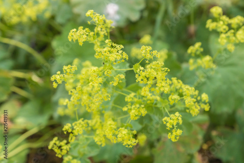 Easy-to-grow herbaceous perennial plant Alchemilla mollis, known as lady's-mantl Fototapeta