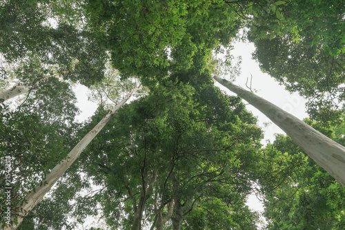 Valokuvatapetti Rainforest canopy above converging lines of eucalyptus tree trunks