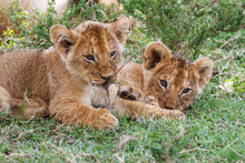 Two Young Lion Cubs Playing In The Masai Mara National Park In Kenya