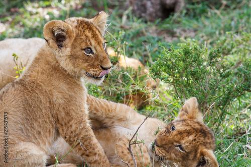 Zdjęcie XXL wo młode lwiątki bawiące się w Parku Narodowym Masai Mara w Kenii