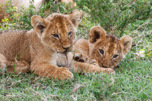 Two young lion cubs playing in the Masai Mara National Park in Kenya Poster Mural XXL