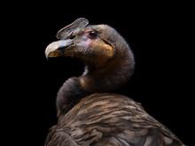Young Andean Condor