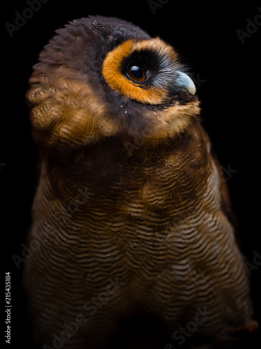 Deurstickers Vogel Brown wood owl