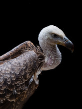 Young Rüppell's Vulture