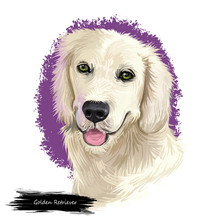Golden Retriever Dog Digital Art Illustration Isolated On White Background. Scotland Origin Large-sized Hunting, Gun, Sporting Dog. Pet Hand Drawn Portrait. Graphic Clip Art Design For Web, Print