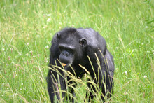 Chimpanzee Walking On Grass