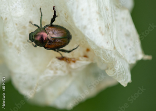 Fotografie, Obraz  A small Japanese Beetle with a red and brown shiny shell clings to a white petal of a flower