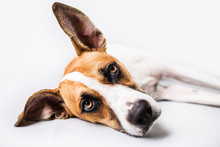 Sad Dog On Isolated White Background