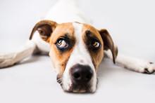 Sad Dog On Isolated White Back...