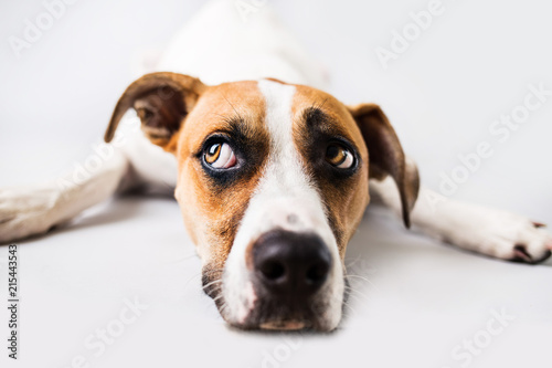 Sad dog on isolated white background Canvas Print