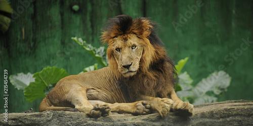 Foto op Plexiglas Leeuw Wild Animal Lion