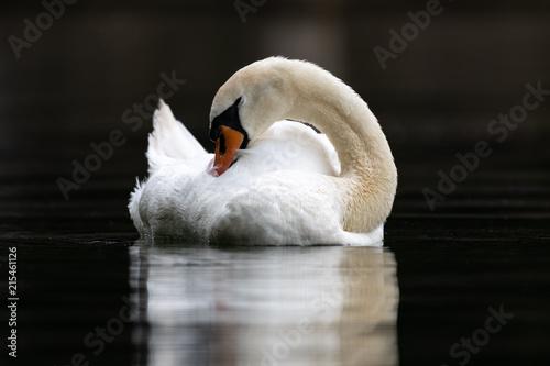 Láminas  Mute swan (Cygnus olor)