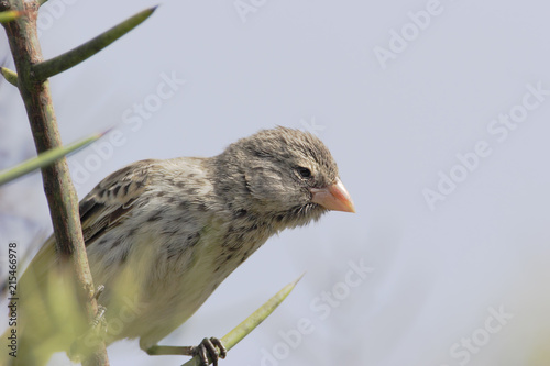 Canvas Print Small ground finch (Geospiza fuliginosa) female on branch, Urvina Bay, Isabela,