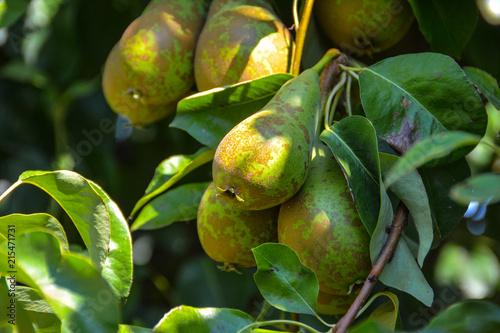 Birnen am Baum im Sommer Canvas Print