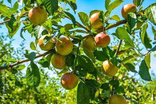 Photo  Apfelbaum im Sommer