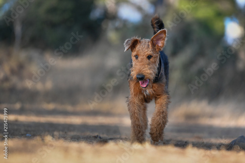 Airedale Terrier dog - puppy 7.5 month old. Wallpaper Mural