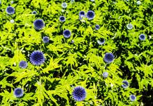 Echinops Veitch's Blue