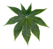 Castor Leaf Fresh Isolated On White Background