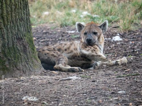 Foto op Aluminium Hyena Hyène