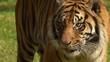 Tiger staring and licking lips