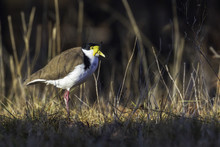 Masked_Lapwing_in_Canberra_stalking_20180729