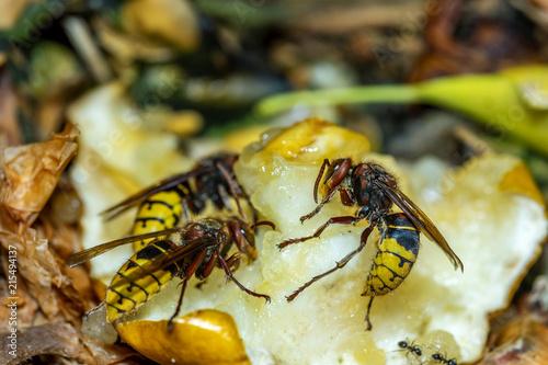 Fotografiet Hornissen beim Fressen