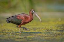 Glossy Ibis In Natural Habitat
