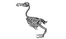 Vintage Dodo Skeleton Illustra...