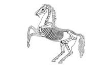 Posing Horse Skeleton Vintage ...