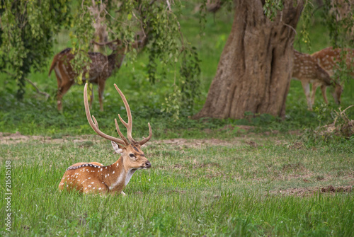 Fotobehang Hert Chital - Axis axis, beautiful deer from Sri Lankan grasslands.