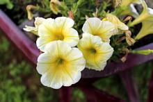 Petunia Easy Wave Yellow Hybri...
