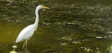 Great Egret Ardea Alba A Large White Bird That Preys On Water