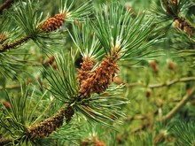 Flowers On The Branches Of A Pine Tree In Spring