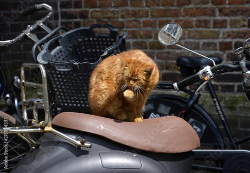 Fotografie, Obraz Roter Kater auf Motorroller