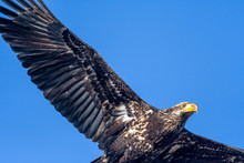 Young Bald Eagle Close Up In Flight