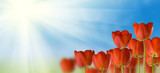 Fototapeta Tulipany - beautiful flowers in the park on sky background close-up