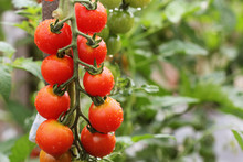 Ripe Cherry Organic Tomatoes In Garden Ready To Harvest With Water Drops