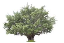 Banyan Tree Isolated On White ...