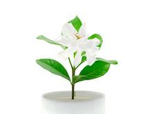 The White Of Gardenia Jasminoi...