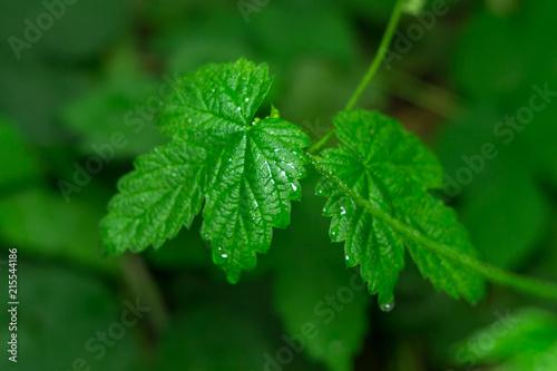 Fotografie, Obraz  poison ivy plant