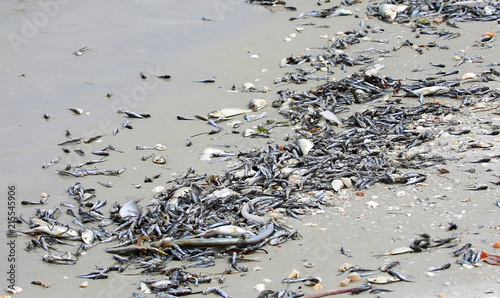 Carta da parati Toxic algae also known as red tide causes tremendous amounts of fish to wash up dead on Fort Myers Beach and other west coast cities in Florida, USA
