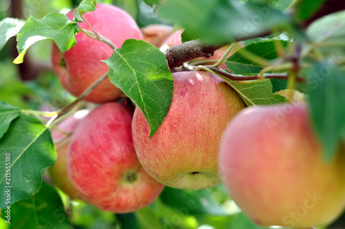 close-up of red apples on apple tree branch